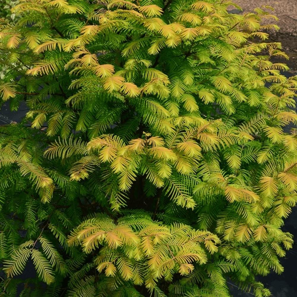 Что посадить осенью: 10 декоративных деревьев для осенней посадки